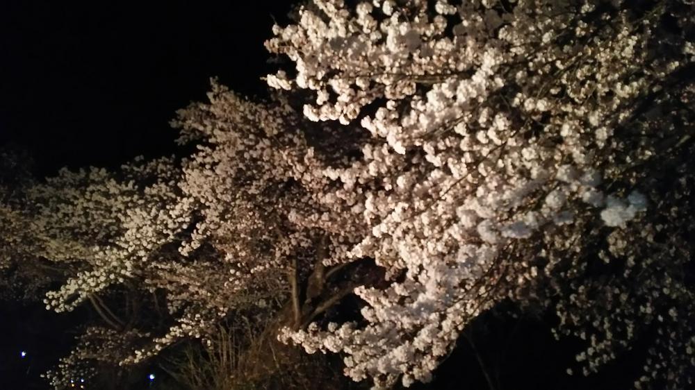 今晩の成田駅の桜情報