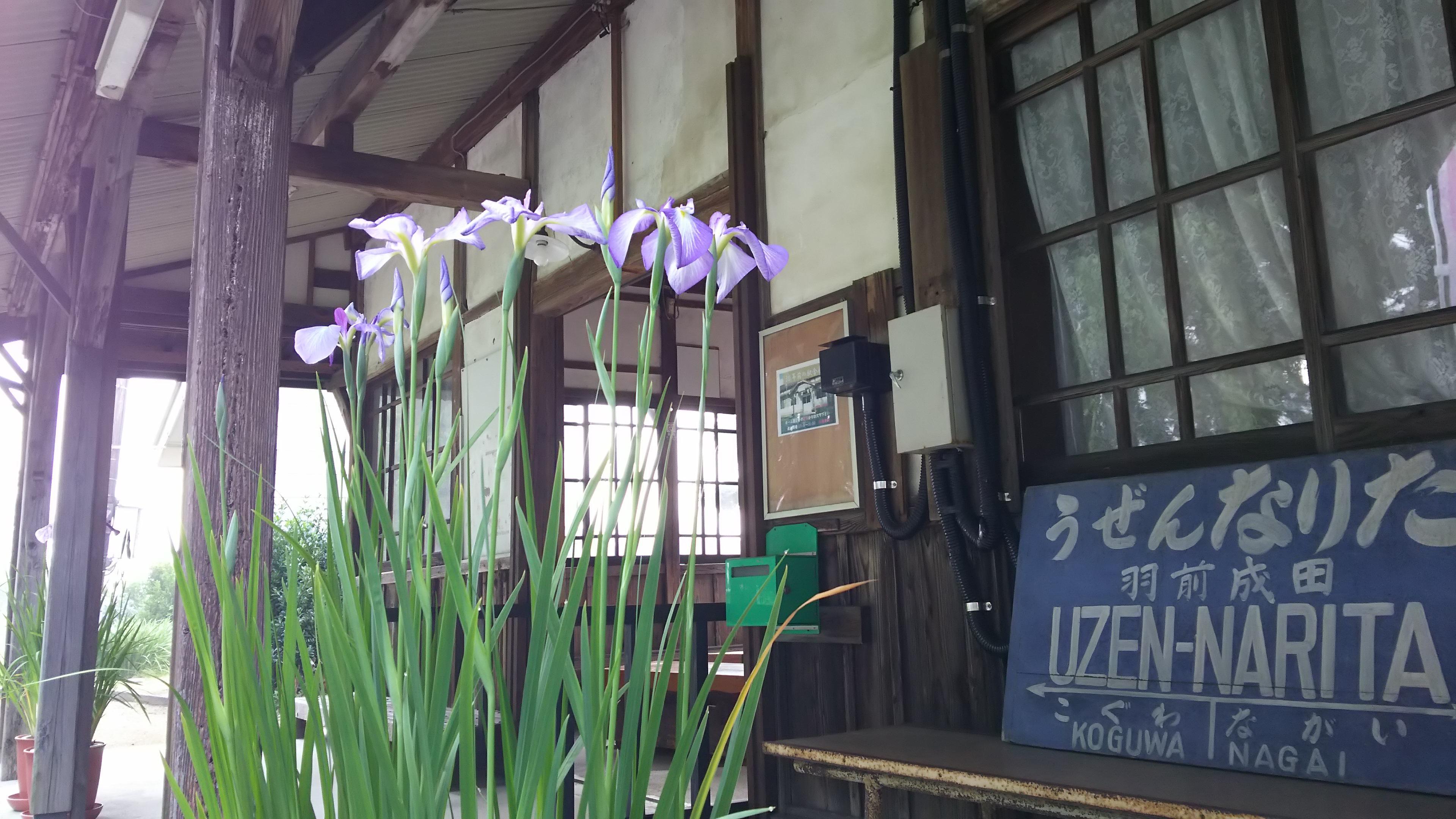 成田駅にアヤメ咲く