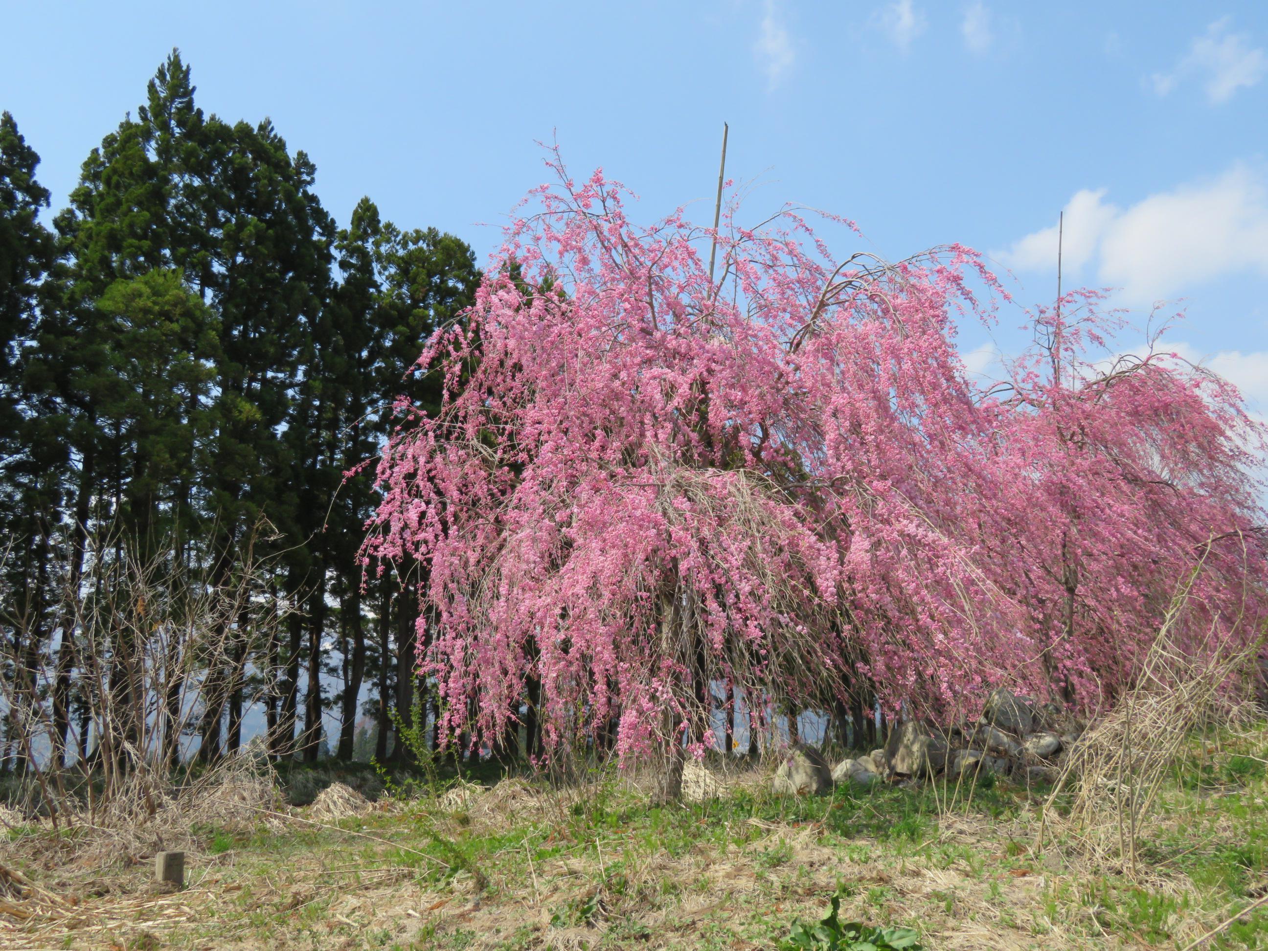 20日13時現在の桜です