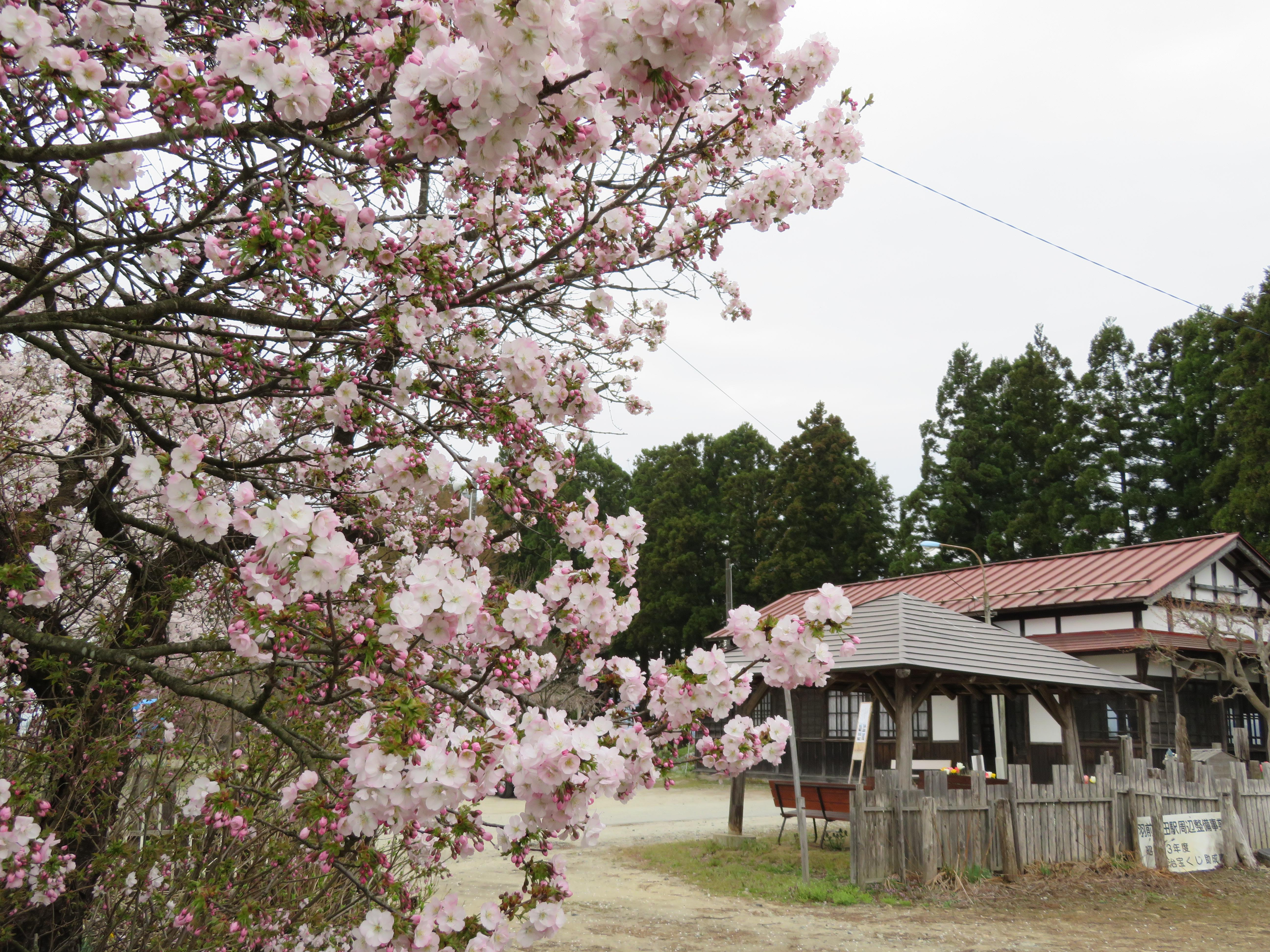 枝垂桜が満開です