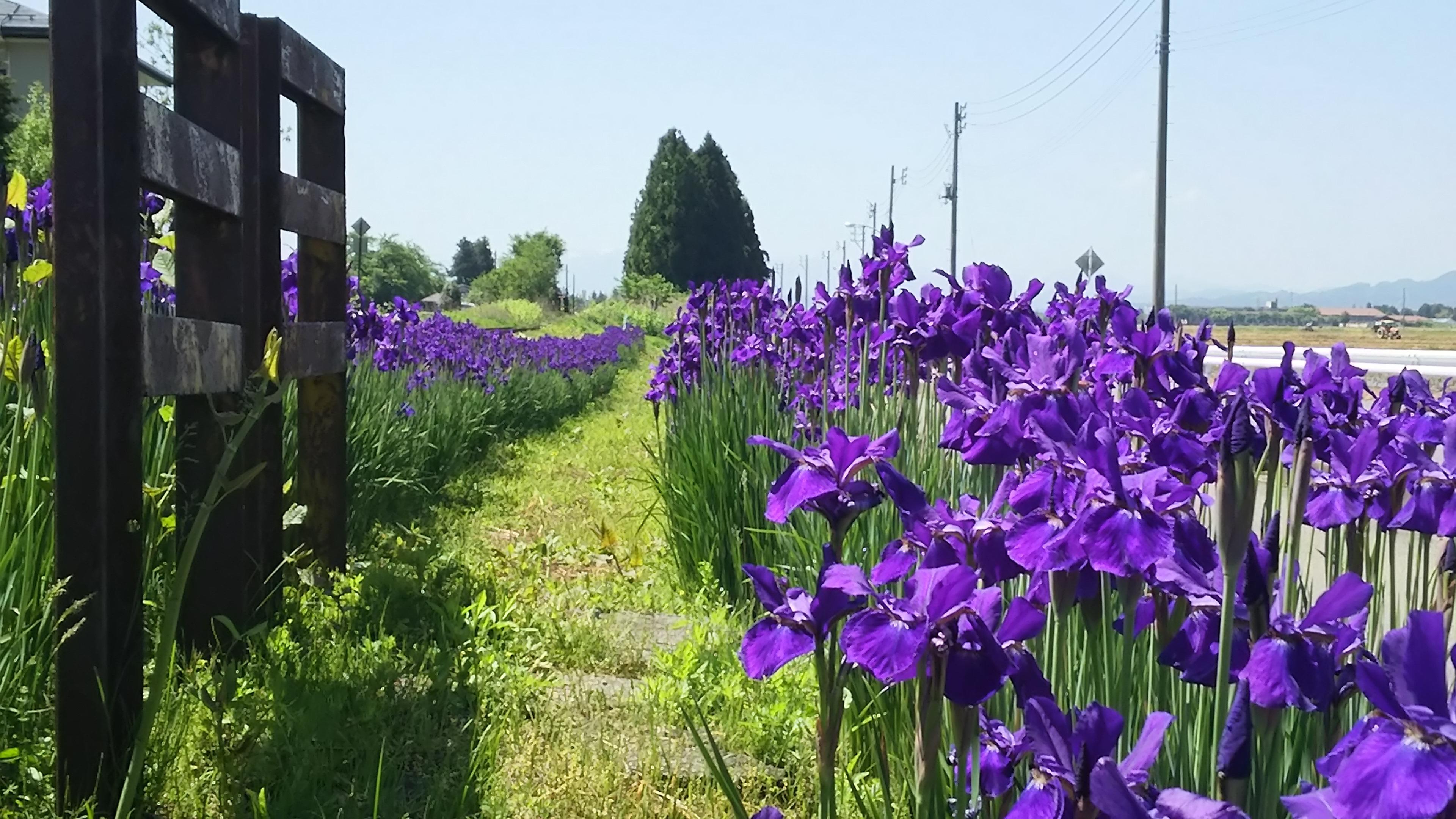 愛(藍)の花咲く