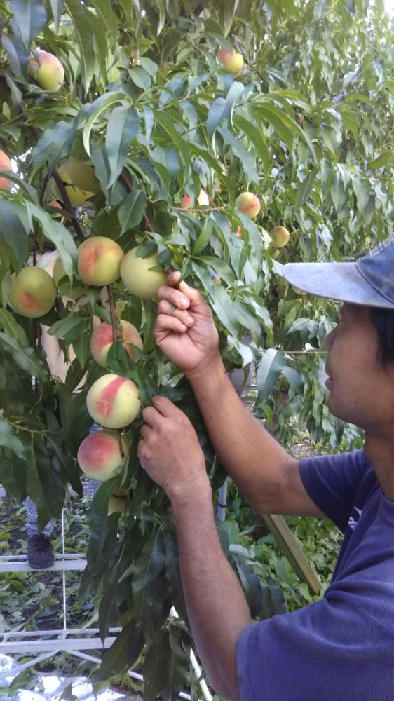 Cultivation without casing fruit peach: Image