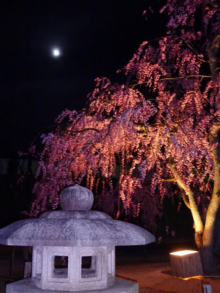 夜桜:画像