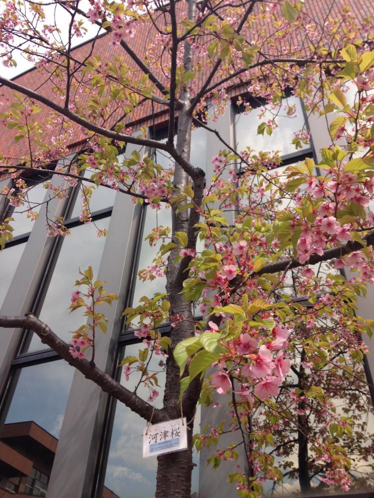 東北福祉大学の河津桜です?