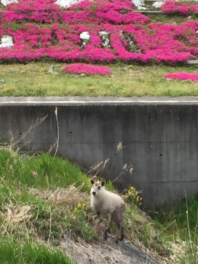 竜山川にカモシカ♪