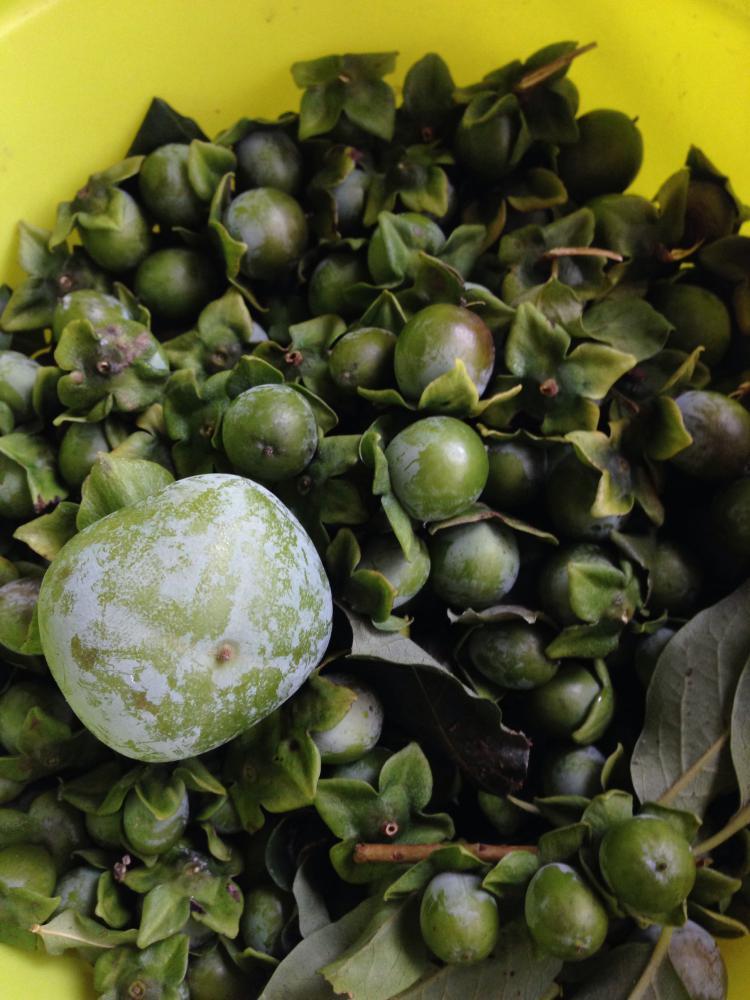 柿渋作り(柿選び)