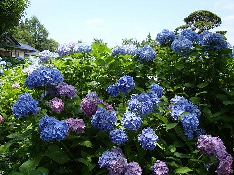 笹野観音の紫陽花