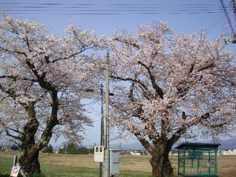 南米沢駅の桜