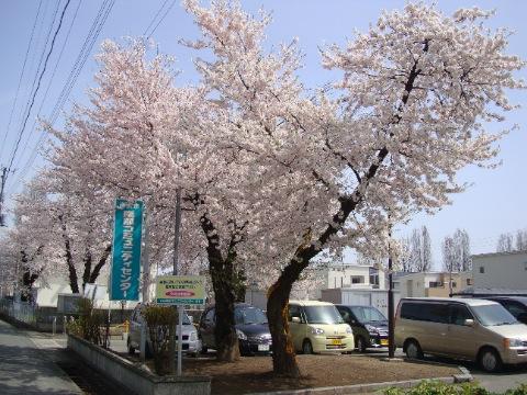 南部コミュニティセンターの桜