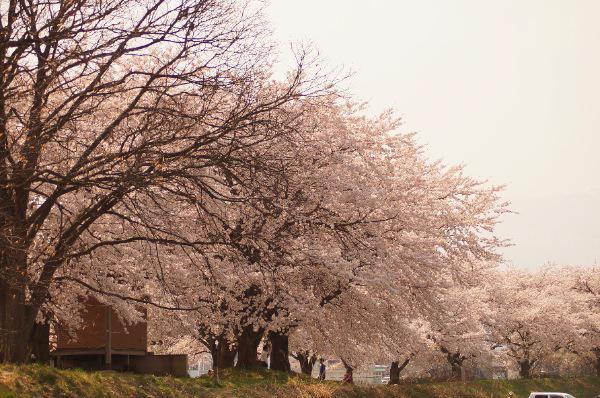 松川河川敷の桜