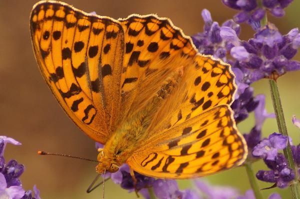 蝶と蜂と花(ラベンダー)