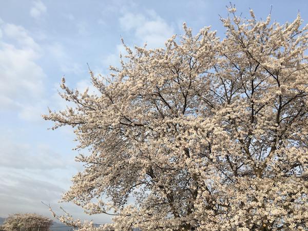 2018-4-17  松川河川敷の桜
