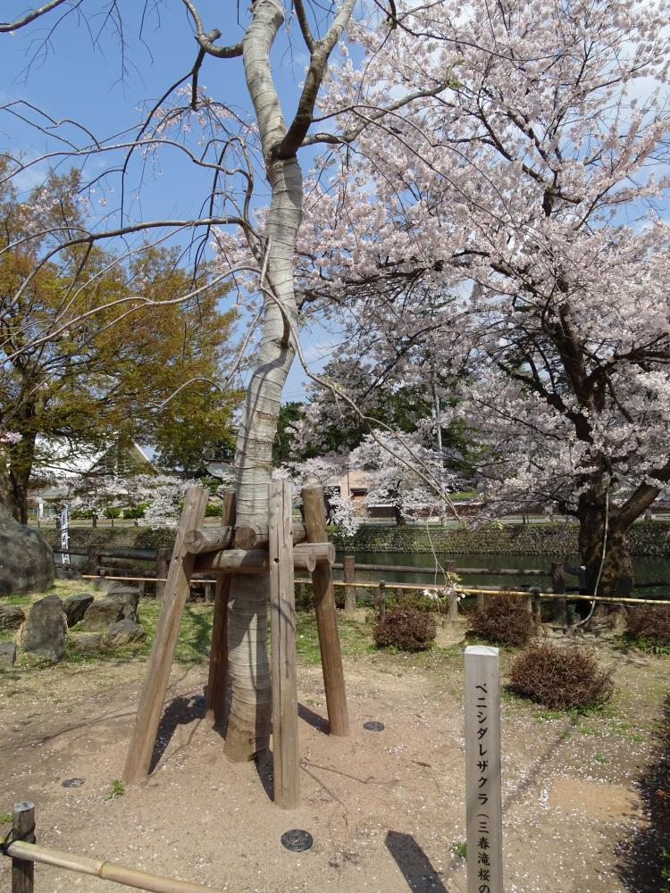 ベニシダレザクラ(三春滝桜の孫木)