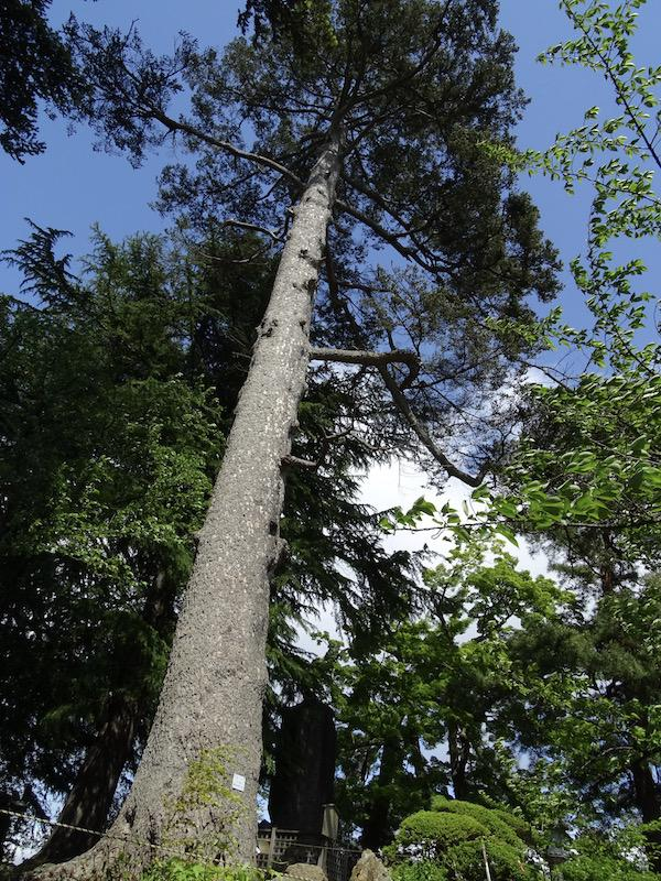 米沢市のシンボリツリーに認定されたモミの木(松が岬公園)