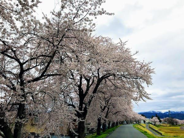 2020-4-19 松川河川敷の桜