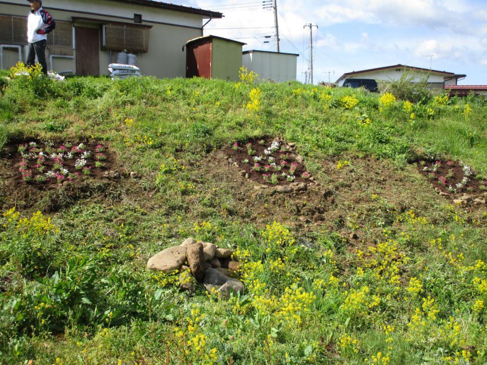 竜山川にシバザクラを植えました