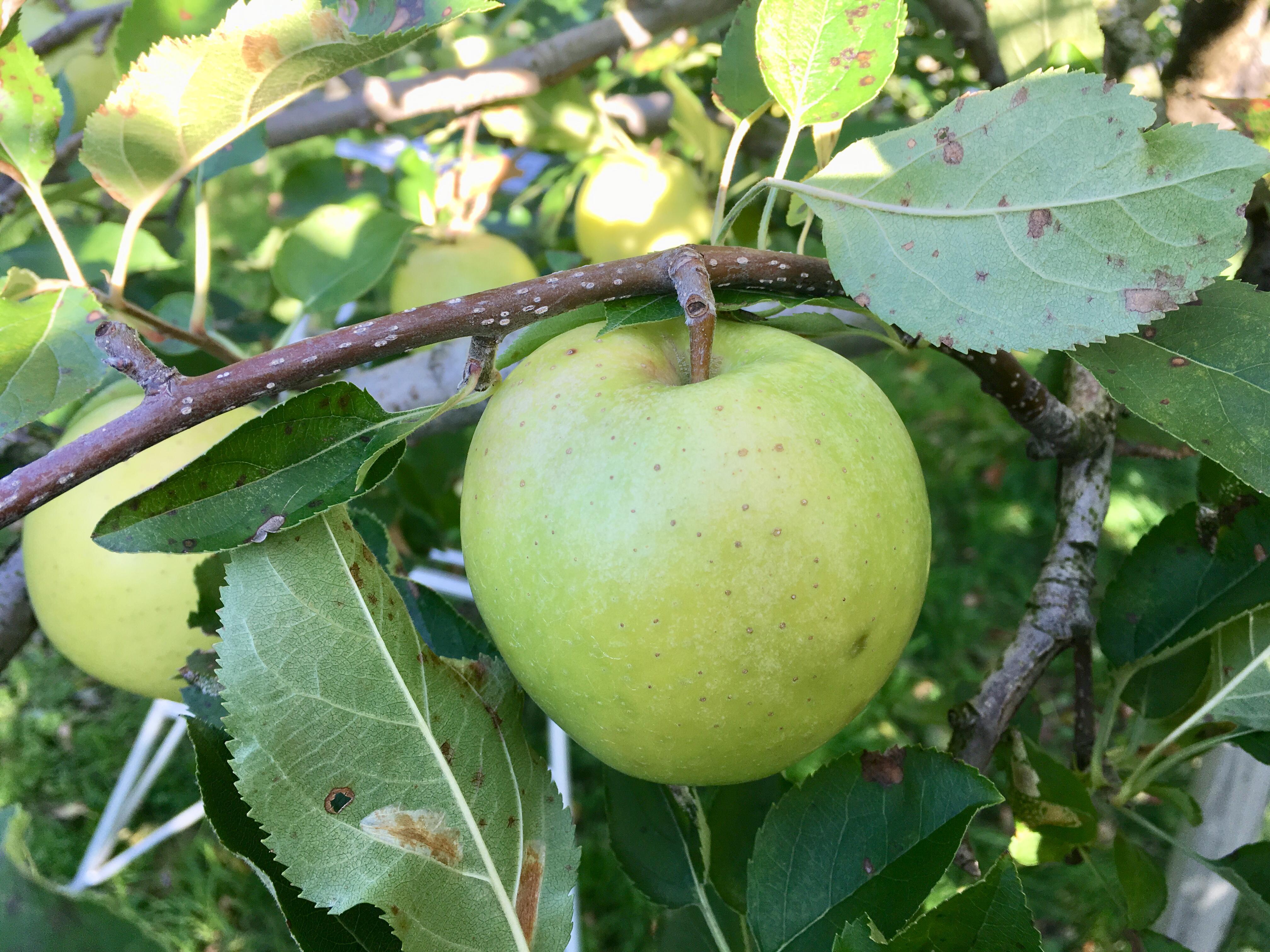りんご狩り 【今季は終了致しました】