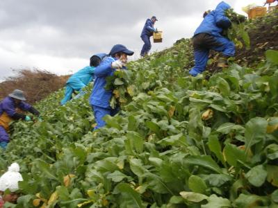 【宝谷かぶ】収穫お手伝い大募集!:画像