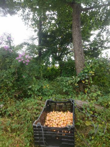 庭先も10月の佇まいです。今年は銀杏が多収です。上期の予定