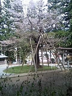 「八乙女桜^^」の画像
