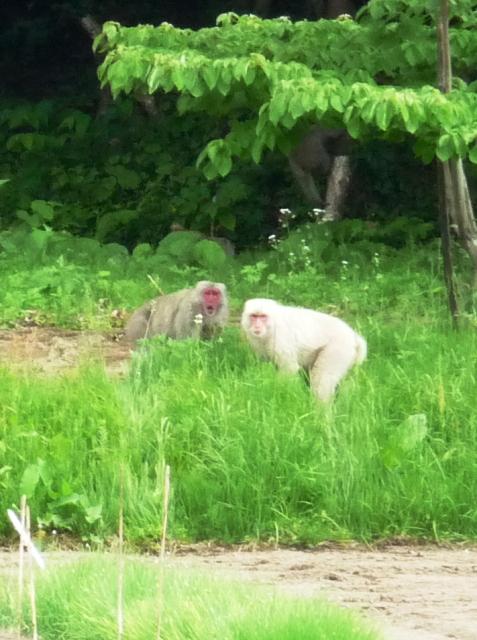 2012/06/05 23:20/吾妻の白猿