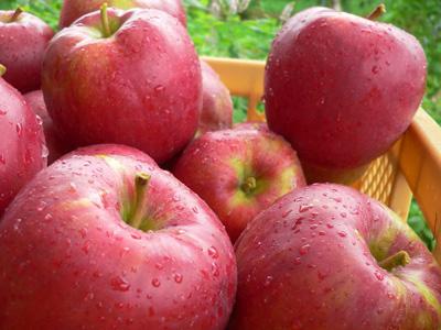 【買】県内産りんご|100kg:画像