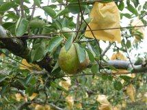 【売】上山市産低農薬ラ・フランス|11月〜(2kg〜6t):画像
