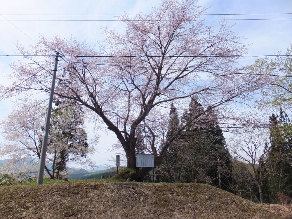 知る人ぞ知る。 銘木 「経塚の桜」って知ってる?:画像