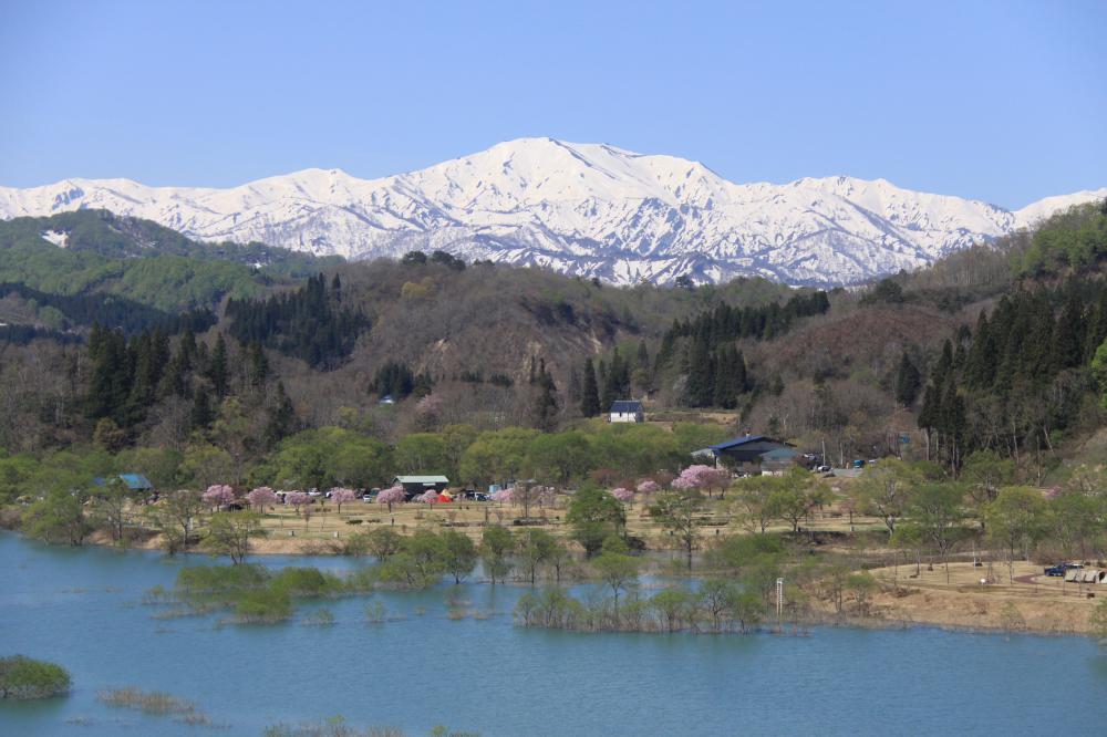 飯豊中津川の桜 今見ごろです。