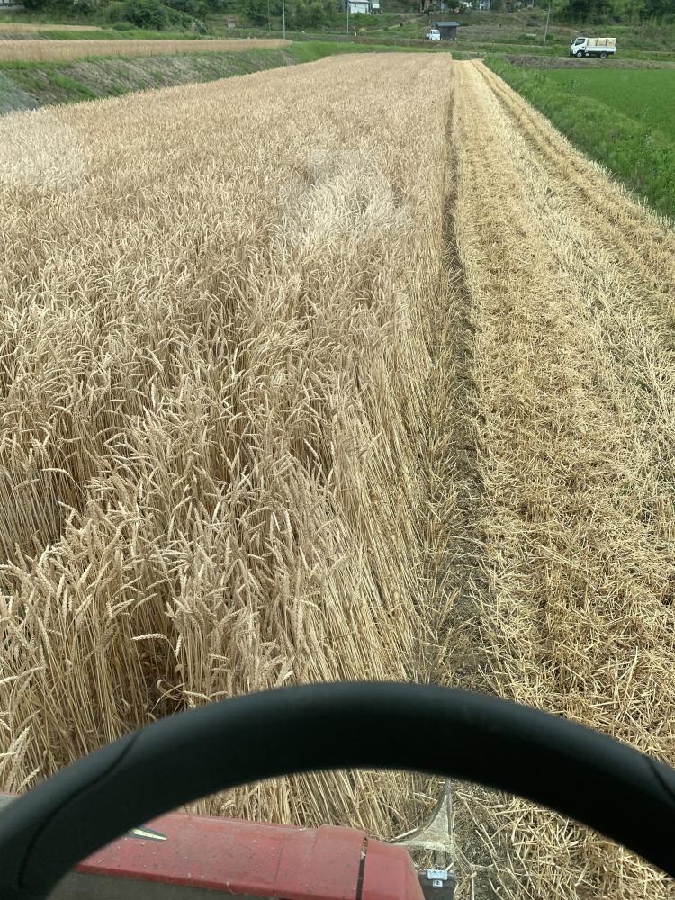 小麦収穫!:画像