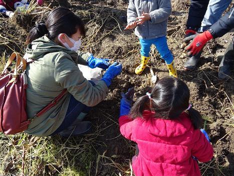 菊芋の収穫が行われました/