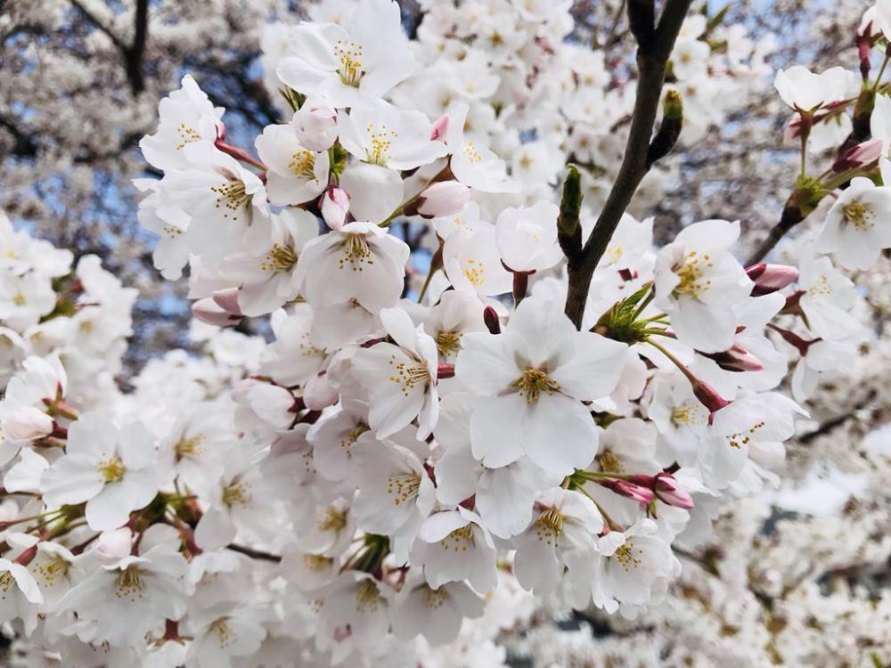 '18長井市内の桜開花情報(4月13日)