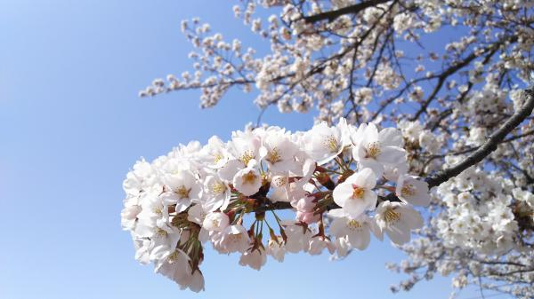Cherry tree flowering information (April 16) in '18 Nagai-shi: Image