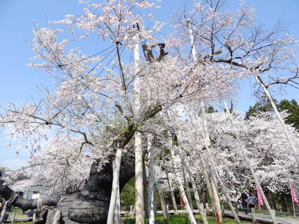 Cherry tree flowering information (April 20) in '18 Nagai-shi: Image