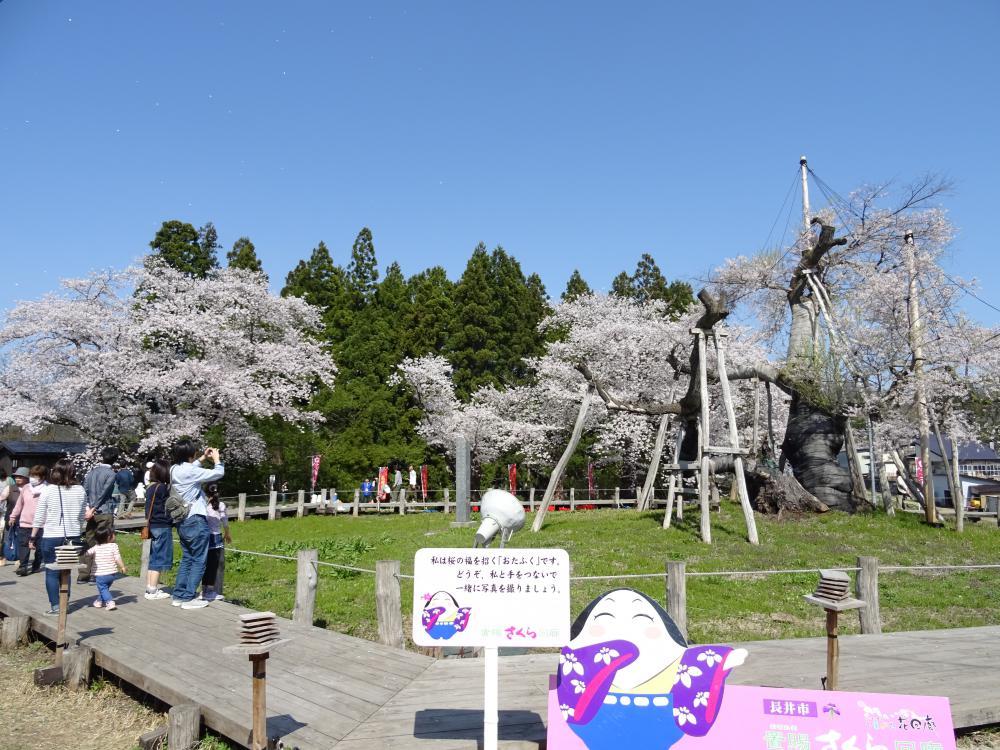 Cherry tree flowering information (April 21) in '18 Nagai-shi: Image