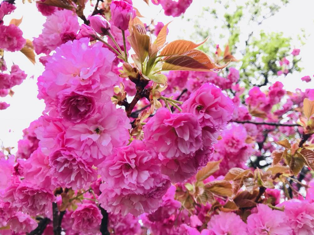 Double cherry blossom blooms neatly in the city! : Image