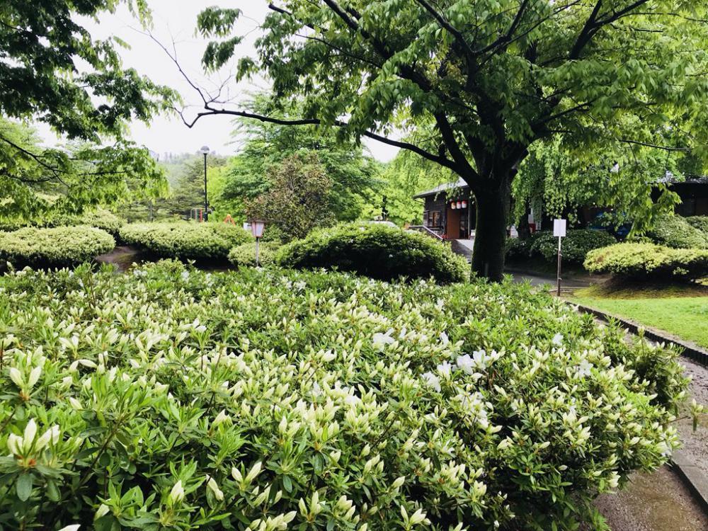 We hold white azalea Festival from today! : Image