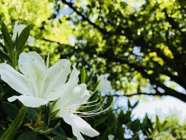 The '18 azalea flowering situation (May 11): Image