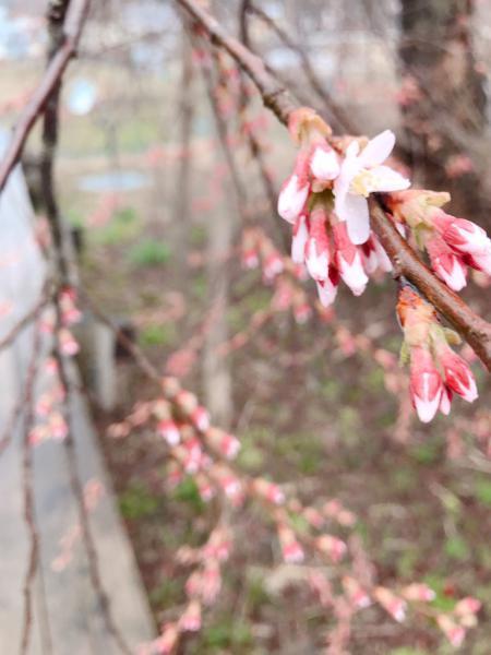 '19長井市内の桜開花情報(4月15日):画像