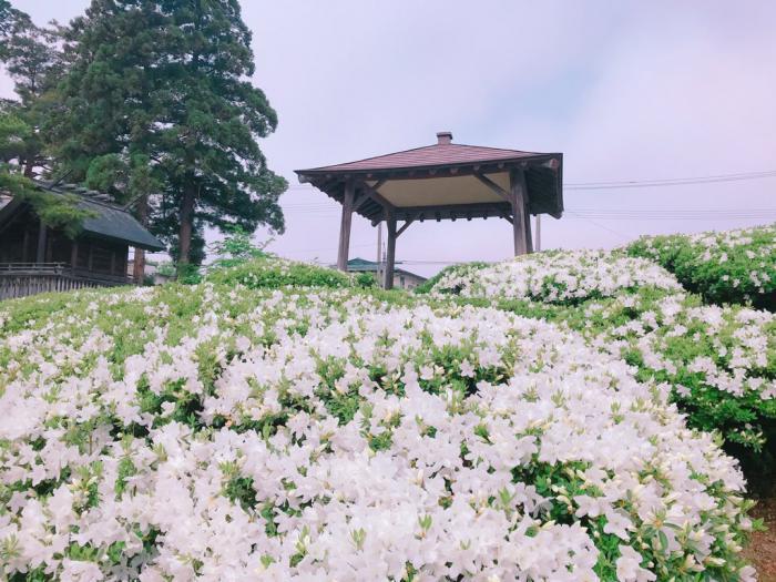 '19つつじ開花状況 (5月16日):画像