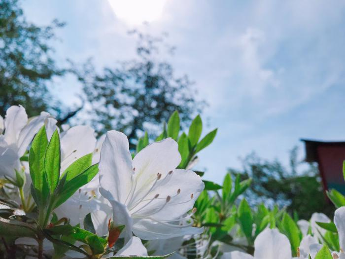 '19つつじ開花状況 (5月17日):画像
