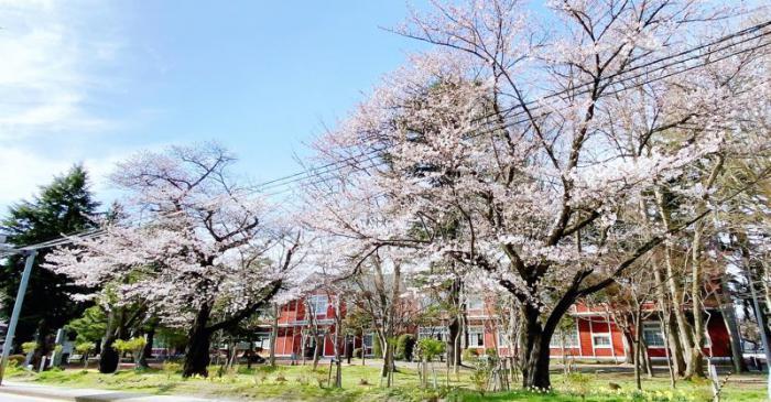 '21 長井市内の桜開花情報(4月6日):画像