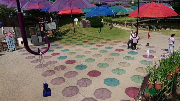 '21 あやめ開花情報(6月24日):画像