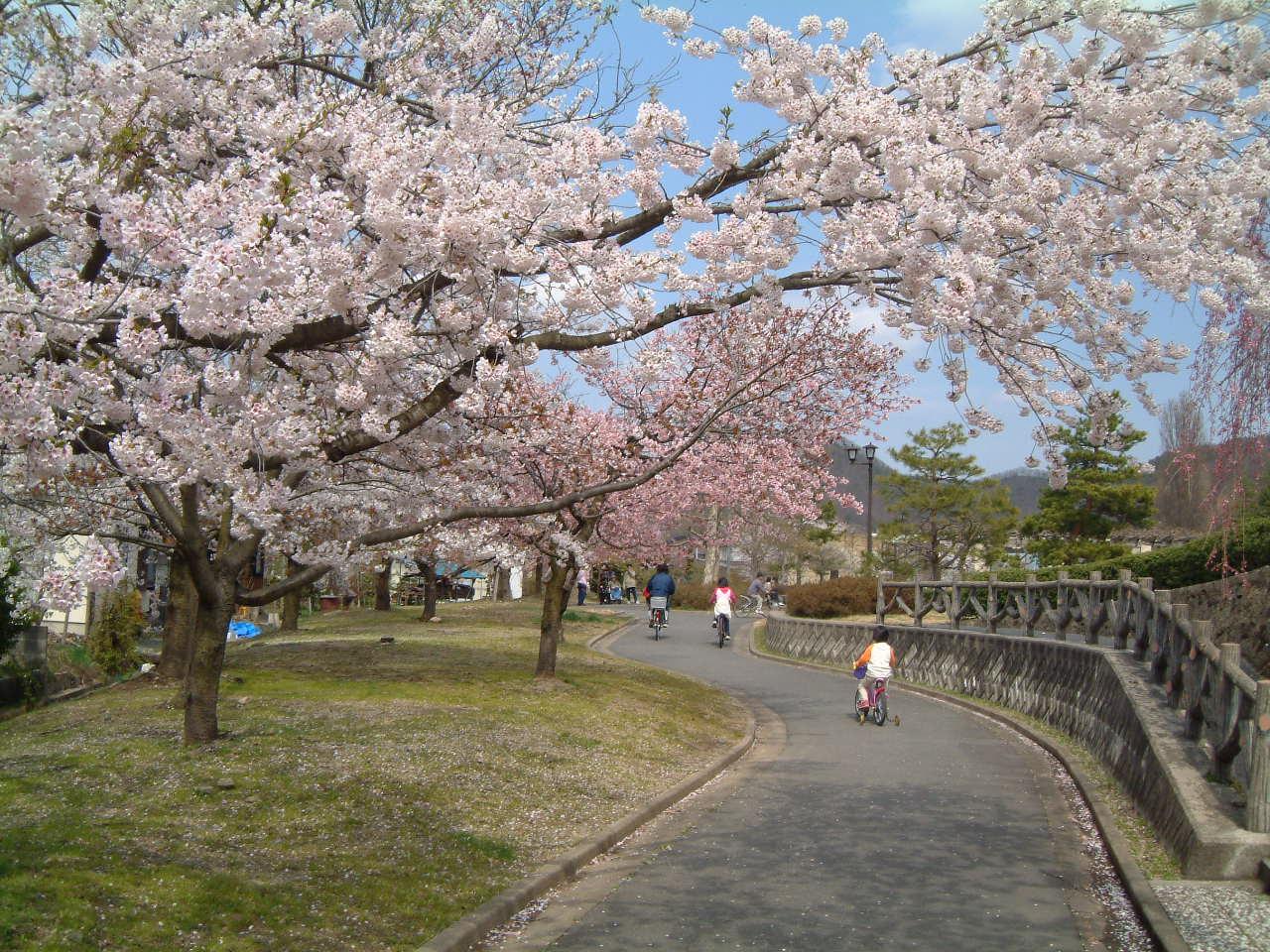 まほろばの緑道 桜開花情報(5/3):画像