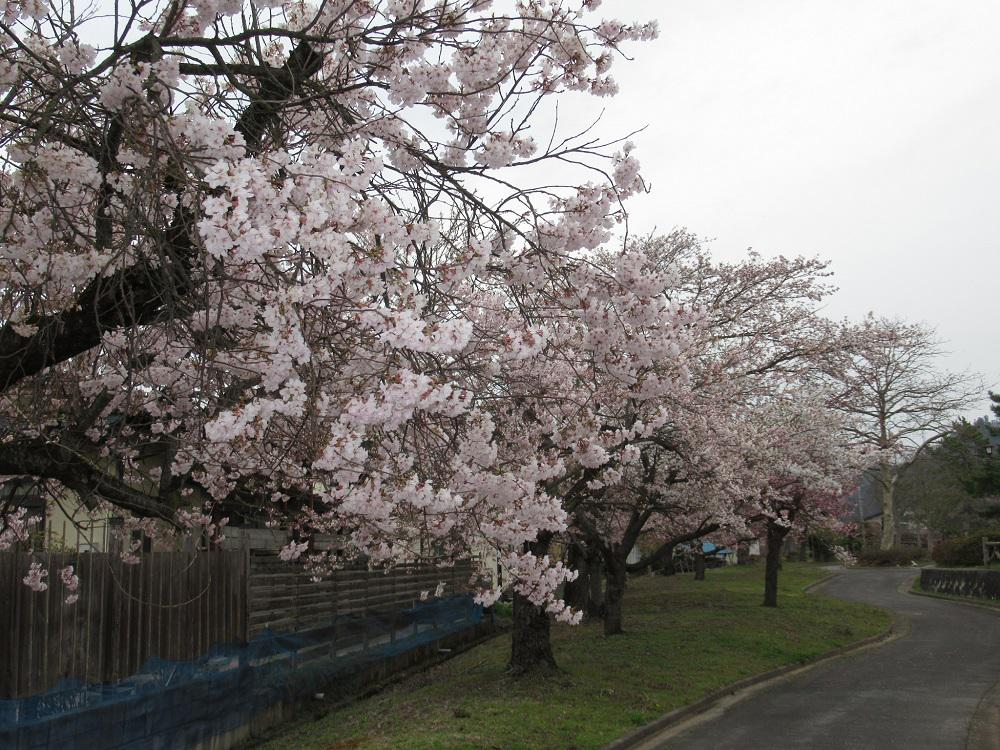 The 4/21 cherry tree flowering situation: Image