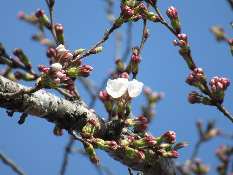 The cherry tree flowering situation of Takahata-machi