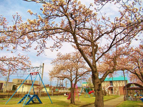 Cherry tree flowering information of Takahata-machi