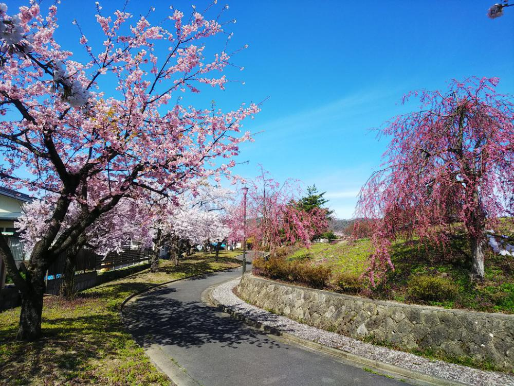 まほろばの緑道 桜満開です。:画像