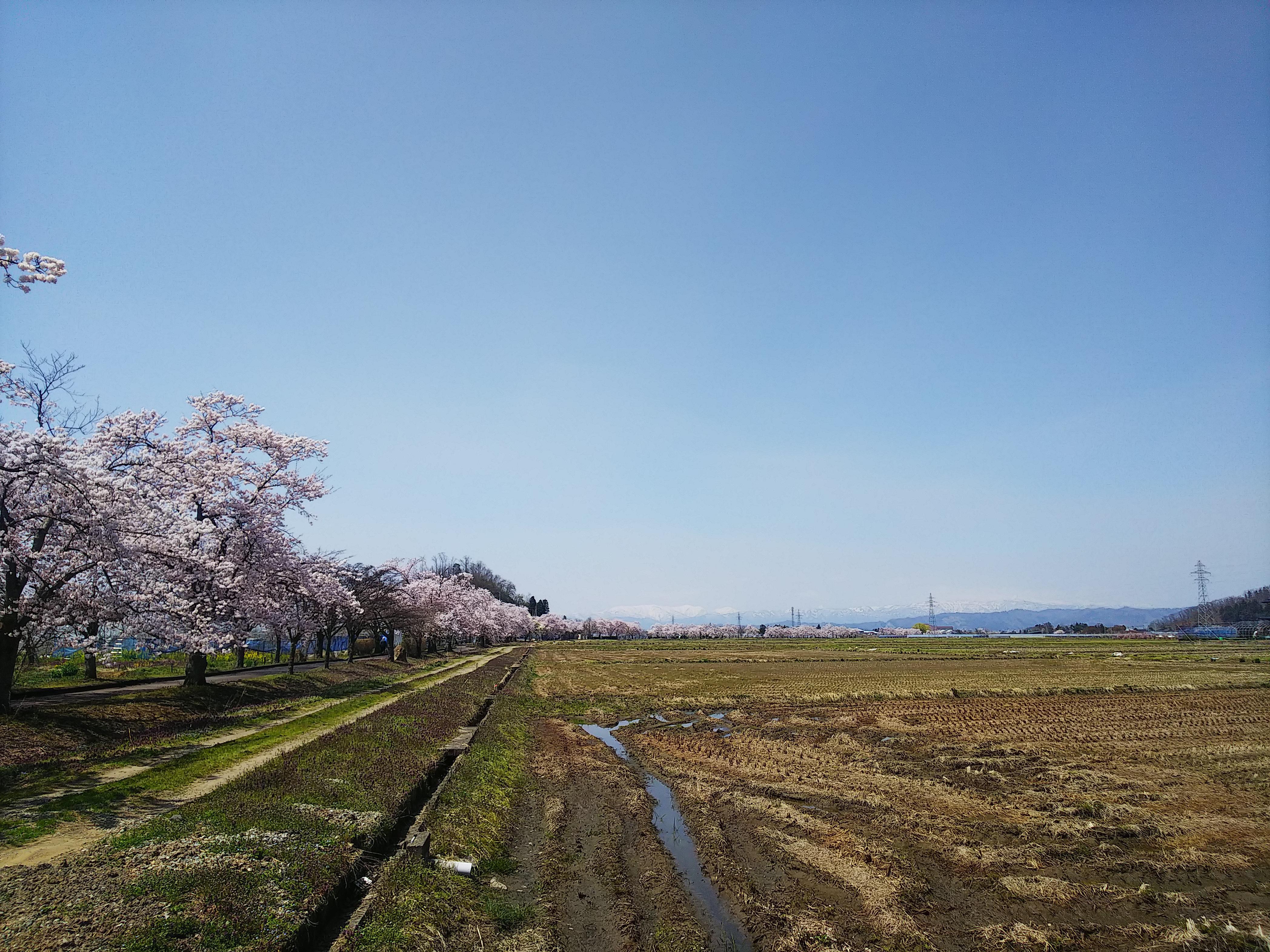 まほろばの緑道 桜満開です。