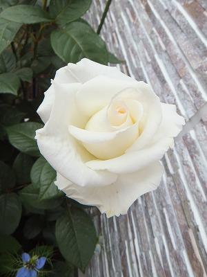 「店舗わきのバラが咲きました」の画像